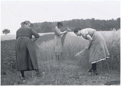 Wasenbacher Frauen bei der Getreideernte